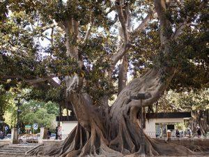 Гигантский фикус-старожил – природный символ Валенсии